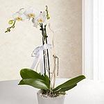 Kategori resimi Orkide