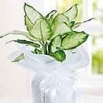Kategori resimi Saksı Çiçekleri